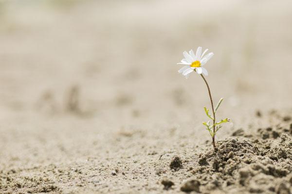 Single flower growing in desert